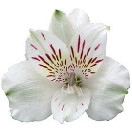 آلسترومریا سفید