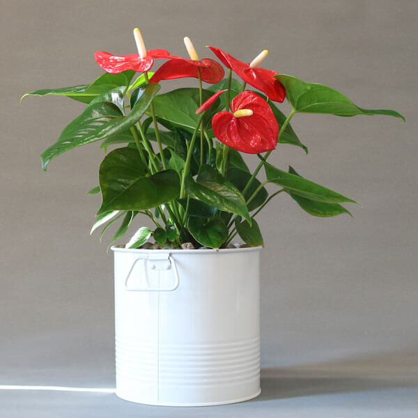 گیاه آنتوریوم با گلدان فلزی