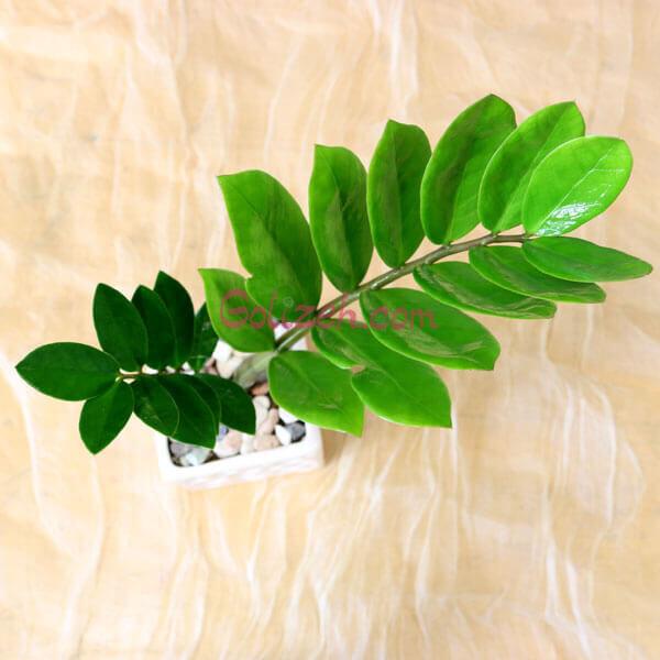 گل زاموفیلیا کوچک سبز