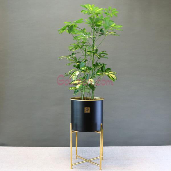 شفلرا گلدان فلزی پایه دار