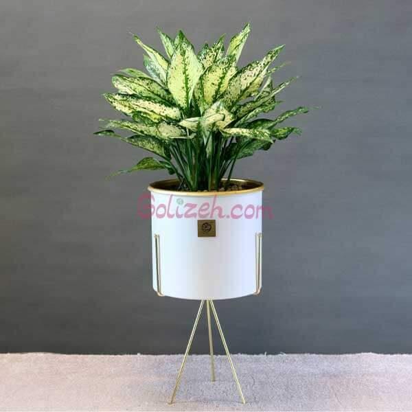 آگلونما سفید با گلدان لب طلایی