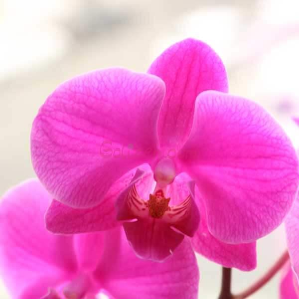 گل ارکیده صورتی